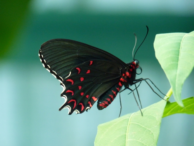 <i>Parides photinus</i> has a wingspan reaching 90–100 millimetres (3.5–3.9 in). Adults are black with the hind wing having a blue-green sheen especially in the male. There are no wing bands. Two rows of red spots are found along the hind wing margin. The hind wings have short tails. The undersides are similar to the upsides. The larvae feed on <i>Aristolochia grandiflora</i> and <i>A. asclepiadifolia</i>. <br><br> This species can be is found from Mexico to Costa Rica, in Nicaragua and in Honduras. It lives in forests, where it is common to abundant. Its range is extended from the sea-level to 5000 feet.